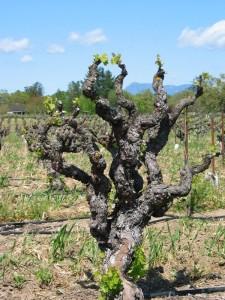 papera old vine