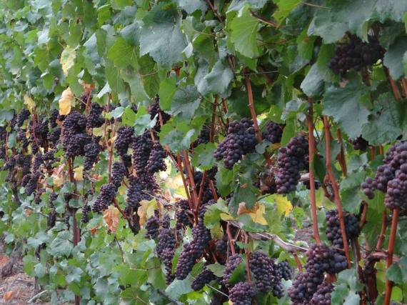 Van Duzer pinot grapes