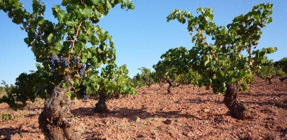 old-vine-garnacha